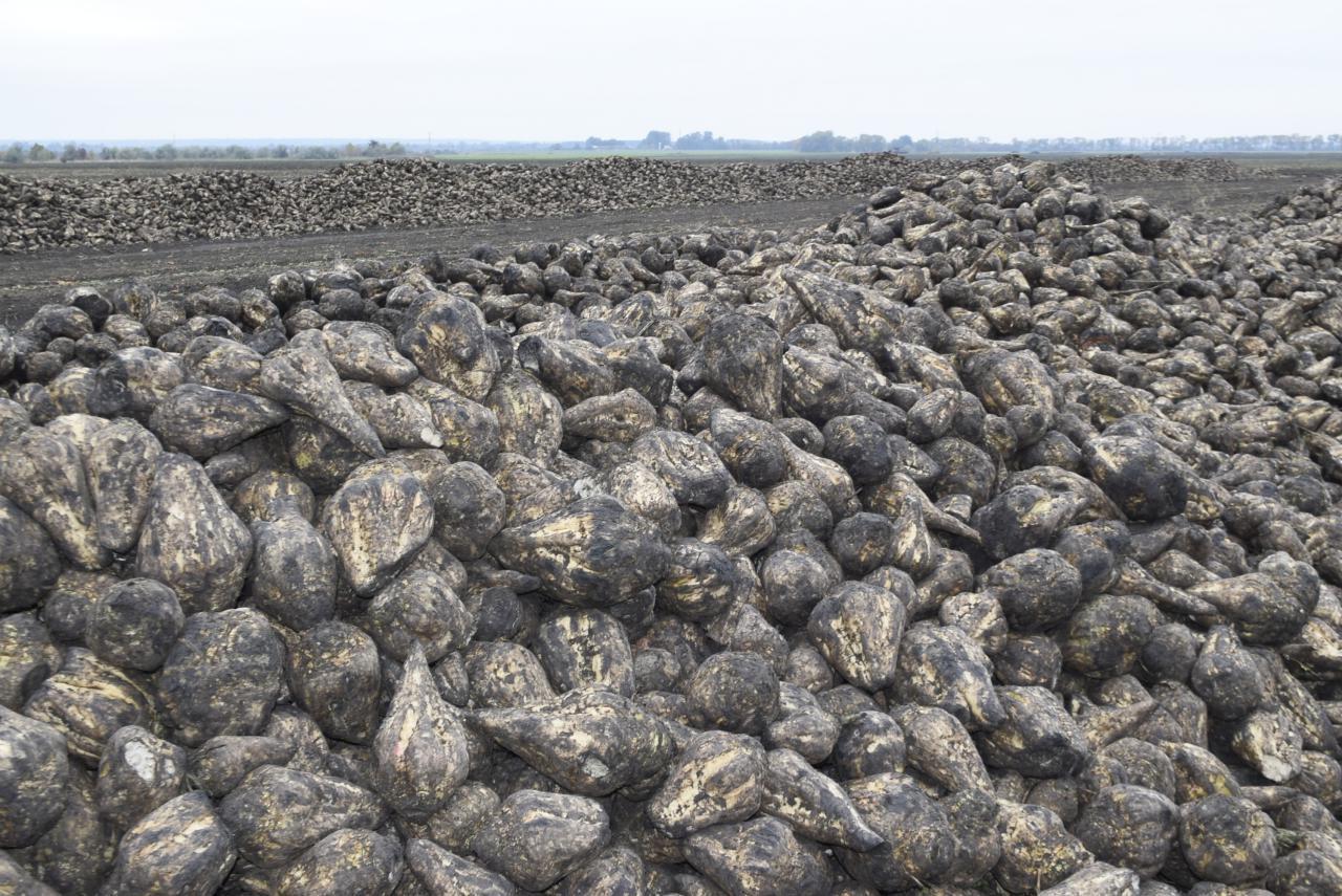 Цукрові буряки, вирощені на полях «Астарта Прихоролля»