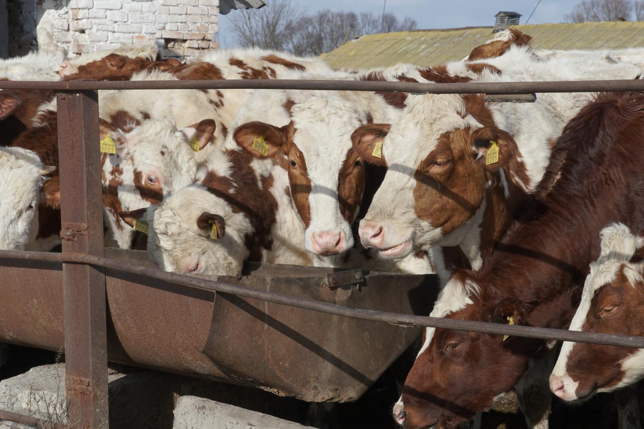 Зимовий випас худоби