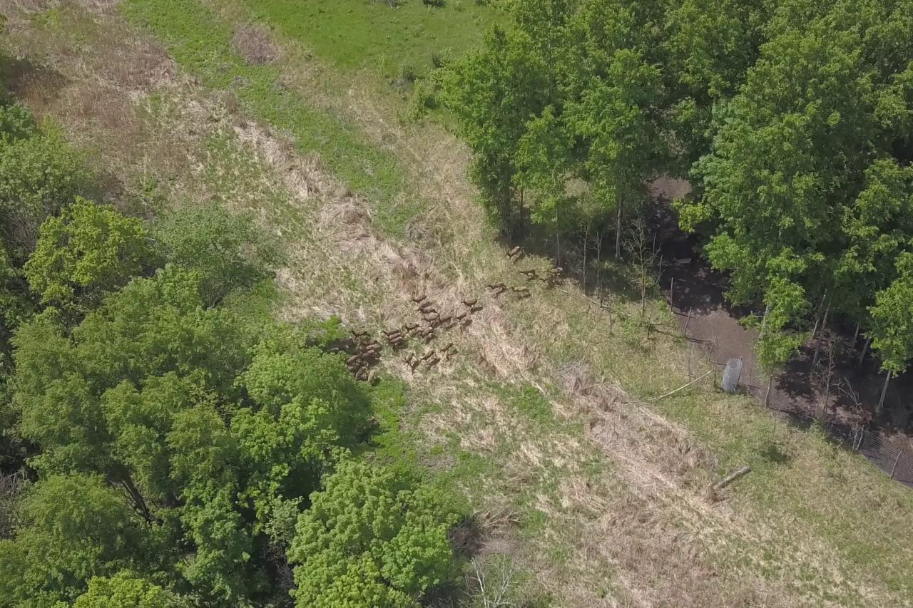 У лісах Полтавщини з'явилися сто нових оленів