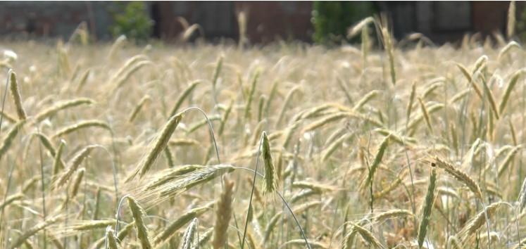 Жито, яке 136 років росте на одному й тому ж місці