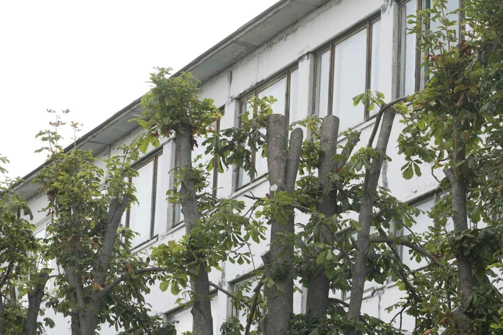 У Розсошенцях обрізають або спилюють усі аварійні дерева