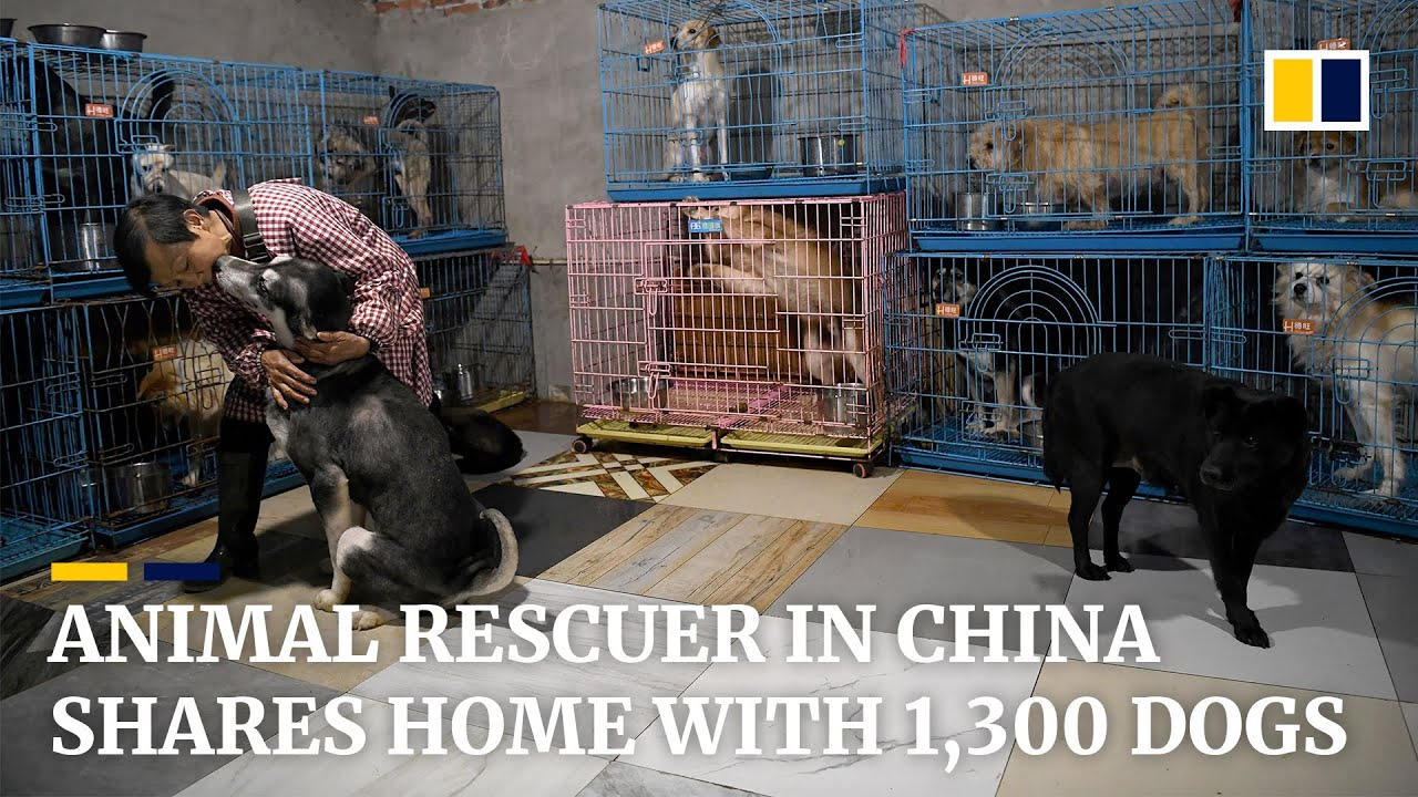 Animal rescuer in China shares home with more than 1,300 dogs