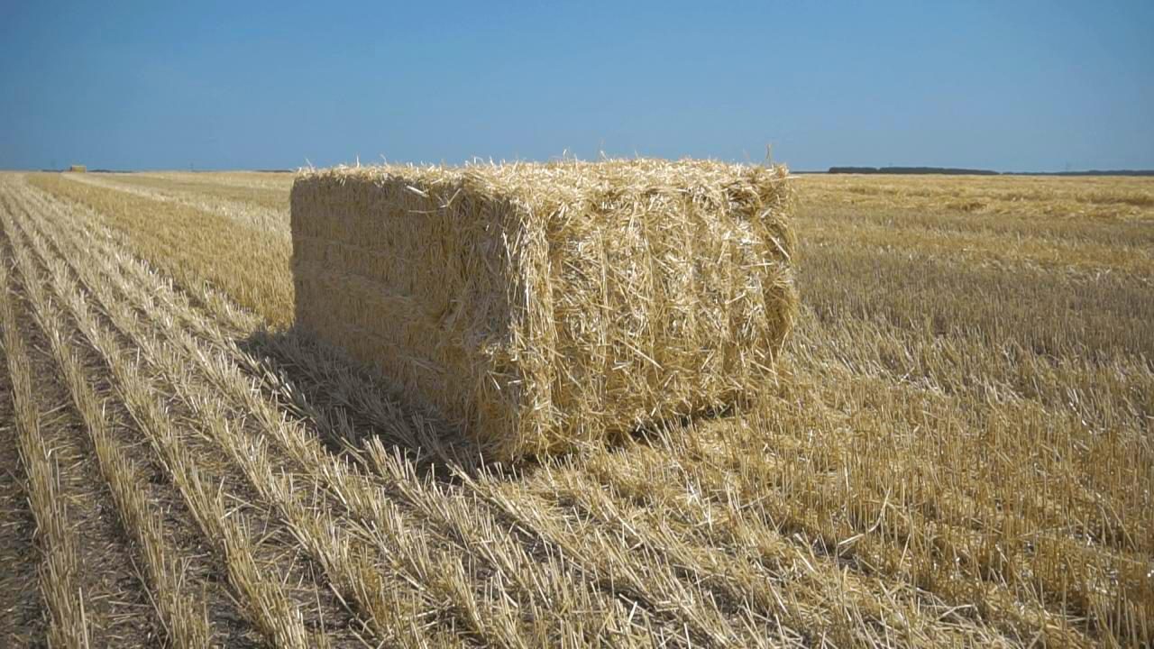 Солому, яка залишається після збору зерна, відвозять на ферми та кормоцентр