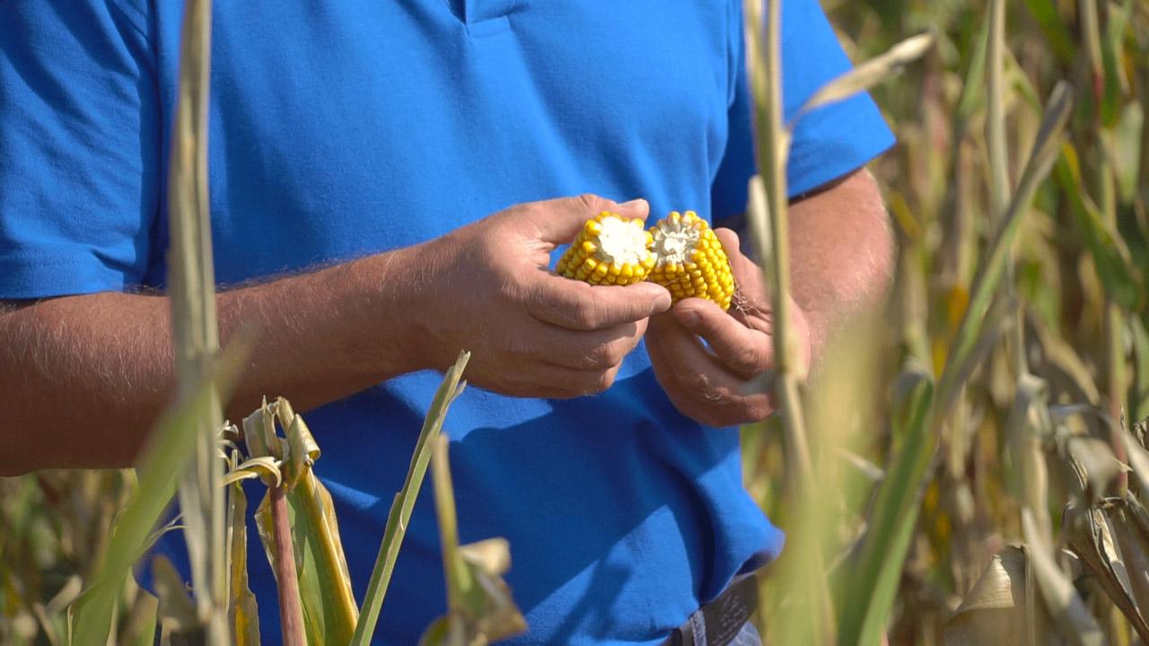 Цьогоріч ТОВ «Полтавазернопродукт» вперше посіяло експериментальну насіннєву кукурудзу